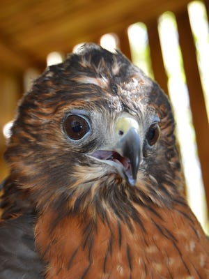 This red-shouldered hawk had been shot through the left chest when she was brought to Wild for Life early last autumn.