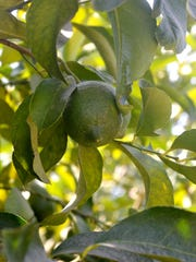 Argentine imports could negatively impact the citrus farmers who have lemon trees in the Central Valley. This is a young lemon growing in an orchard in Woodlake.
