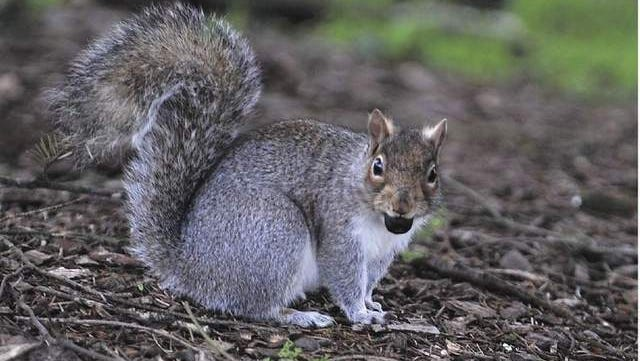 A squirrel scavenges the grounds of Bush's Pasture Park in search of acorns.