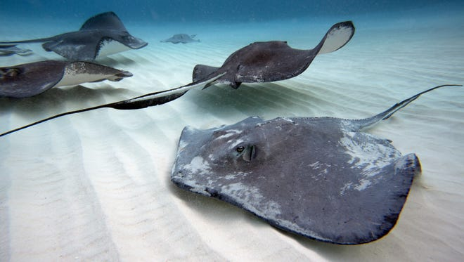 The southern stingrays in the Caribbean can achieve a width of 6.5 feet.