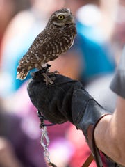 Topper a burrowing owl is seen during the Owl Festival held Sunday at the Olivas Adobe in Ventura.