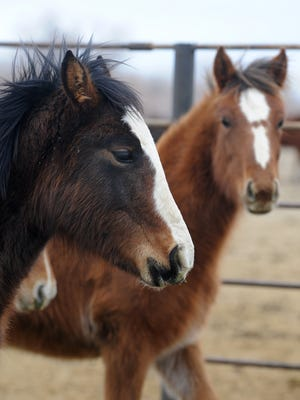 This photo shows young wild horses at the BLM wild horse facility in Fallon in 2009. West Nile Virus has been diagnosed in a horse from Churchill County (horse not pictured).