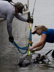 Pilot whales stranded