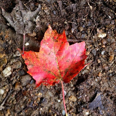 A maple leaf shines on brown ground, September 2013,