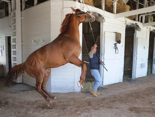 Justify rears up while being walked around the shed