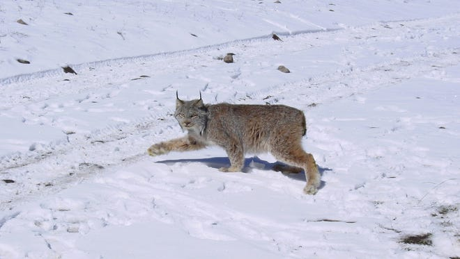 Canana lynx (Lynx canadenis) is a medium-sized cat with long legs, large, well-furred paws, long tufts on the ears, and a short, black-tipped tail. The Canada lynx is listed as threatened.