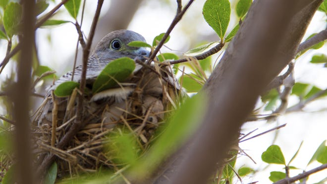 A well-hidden nest is an instinctive protection measure by this dove.
