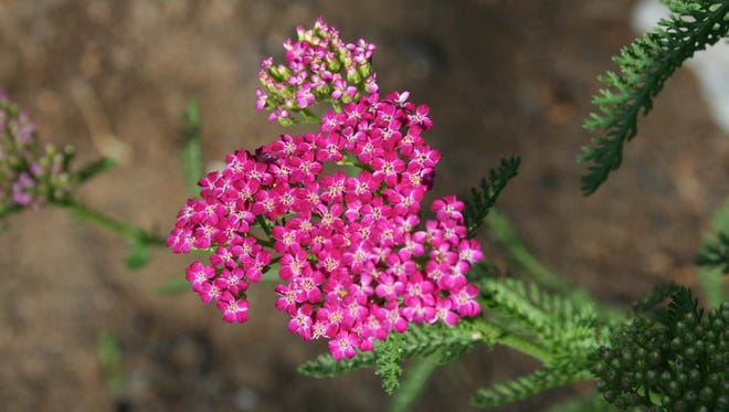 Yarrow cherries are an example of a perennial that could be available at the Master Gardeners' spring plant sale.