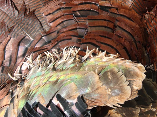 A photo of wild turkey's wing and tail feathers shows rich and iridescent colors.