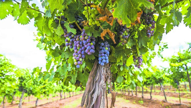 Grapes on the vine at Flying Leap Vineyards.