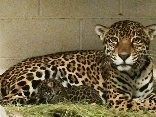 The Living Desert has announced the birth of a jaguar cub, born Jan. 26 to 7-year-old Magia. Father of the cub is 6-year-old Memo.