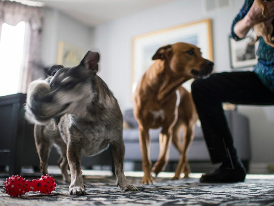 Mitzi, left, a 10-year-old Australian Cattle Dog and Boston Terrier mix, shakes a chew toy as Eileen Boyle spends time with her dogs Wednesday, Jan. 10, 2018 in Collingswood, N.J.