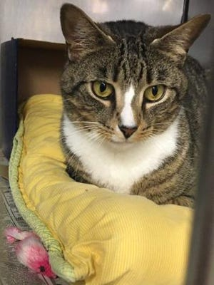 Doc is a sweet, friendly tabby cat who is looking for his forever home.