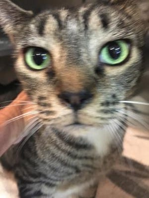 Look into my gorgeous green eyes, and tell me you'll bring me home for Christmas! Ask for Boots.