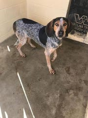 Lucy is a 4 year old, female, blue-tick/coonhound/mix.