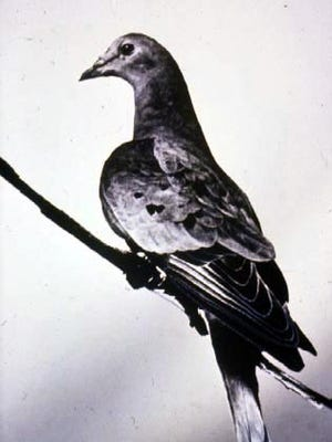 When Martha, the last passenger pigeon, died in the Cincinnati Zoo in 1914, no one could predict all of the ecological consequences that the extinction of her species would bring about. Today, scientists hypothesize that our current Lyme disease epidemic could be one those consequences.