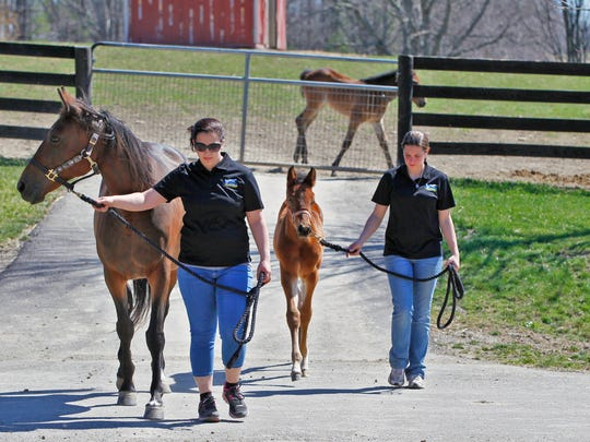 Ashleigh Bennett, right, farm manager with the horses, leads Oscar as Amber Pruchnik, left, leads the mom to the stable at Allerage Farm in Sayre, Pa 