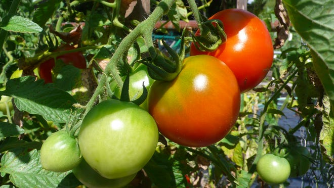 Healthy tomato plants need the right conditions and proper amounts of water and nutrients, not to mention six to eight hours of full sun daily.