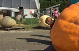 Boulder-sized gourds roll up for bragging rights at the Vermont Giant Pumpkin Growers Association Annual Weigh-Off at Sam Mazza's Farm Market in Colchester. Produced on Saturday, Sept. 23, 2017.