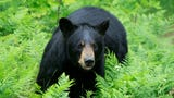 The six-day bow season for bears is underway