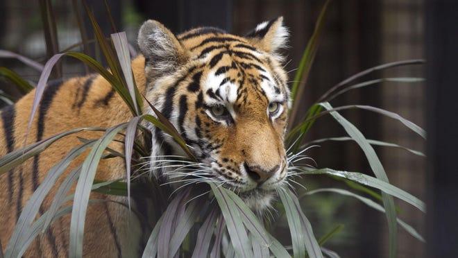 Zhanna, the Brandywine Zoo's Amur tiger.