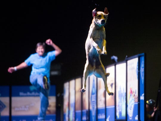 River, a yellow lab, competes in the Extreme Vertical finals in the Dock Dogs World Championship at the Knoxville Convention Center on Sunday, October 29, 2017. Extreme Vertical measures how high a dog can jump off of a dock. Cheering River on is handler Phyllis Manning of Greenville, NC.