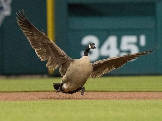 A Canadian Goose landed on the field during the rain delay of Detroit Tigers vs. Los Angeles Angels game May 30, 2018 at Comerica Park in Detroit.