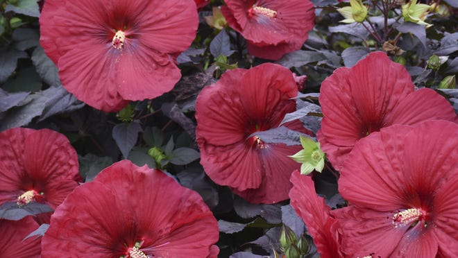 Holy Grail, like other hardy hibiscus, boasts dramatic flowers that can't be ignored.