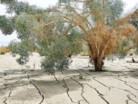 Though drought-tolerant, the smoketree can only survive so long without water.