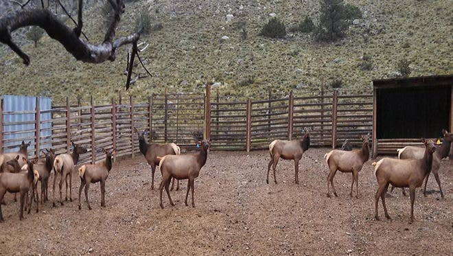 An experimental vaccine for chronic wasting disease actually increased the likelihood of elk to contract CWD by at least three times.