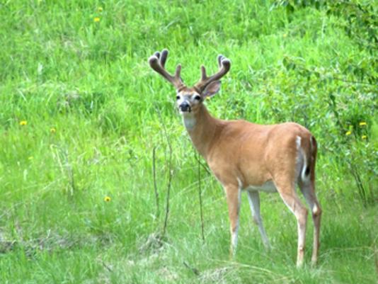 636091222579575139-Deer-Velvet2.jpg