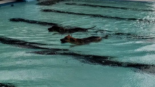 It's a race to the finish for these two dogs swimming at the Village of Ruidoso's first Pooch Party Sunday.