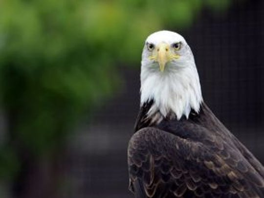 A Bald Eagle (pygargue à tête blanche) is pictured at the zoo of the French eastern city of Amneville, on June 5, 2012. AFP PHOTO / JEAN-CHRISTOPHE VERHAEGEN (Photo credit should read JEAN-CHRISTOPHE VERHAEGEN/AFP/GettyImages) (Photo: JEAN-CHRISTOPHE VERHAEGEN AFP/Getty Images)