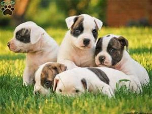 American bulldog puppies.jpg