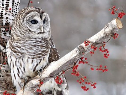 TtlowBarred-Owl-300x226.jpg