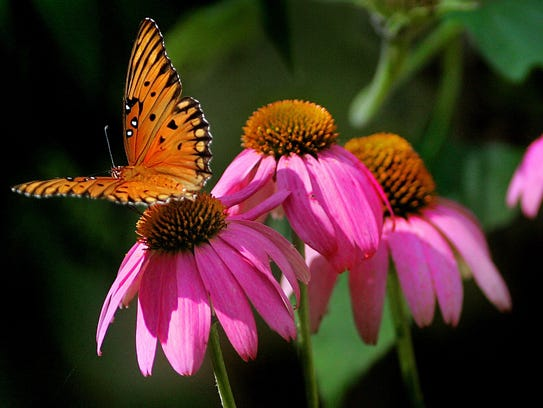 Gulf fritillary butterfly on a native purple coneflower