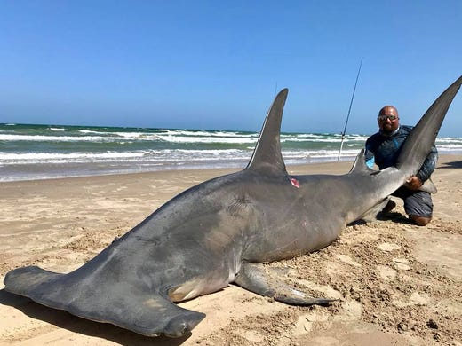 Angler lands 14-foot hammerhead shark, estimated at nearly 1,000 pounds
