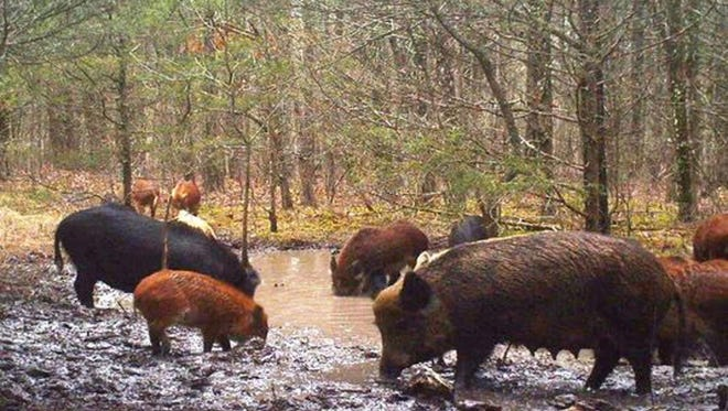 Feral hogs are shown polluting what was a pristine spring on private property in Ozark County in Missouri. The MDC says the feral hog population is increasing at a rate of 166 percent each year.