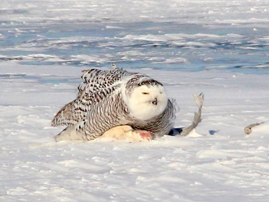 A snowy owl feeds on a fish on the frozen surface of