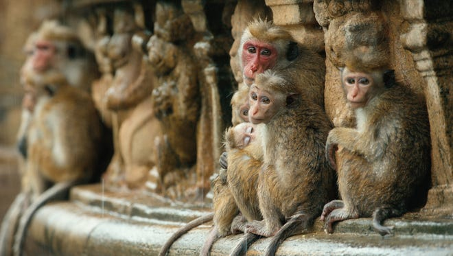 """Hear the call of the wild with Disneynature's """"Monkey Kingdom."""""""