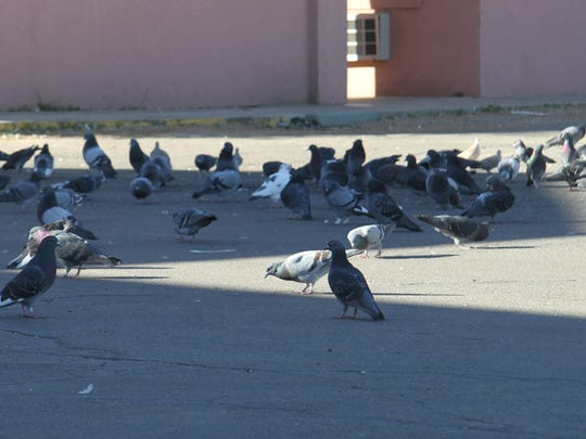 A new ordinance was introduced at City Council on Tuesday night is focused on controlling the feral pigeon population in the city.