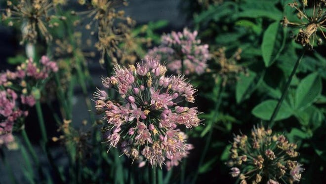 Allium senescens ' Glauca' adds a bit of mauve to the garden.
