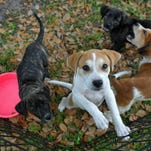 Puppies from The Pixel Fund play while waiting for adoption at the Brevard County Regional Juvenile Detention Center in Sharpes, where they work with juveniles.