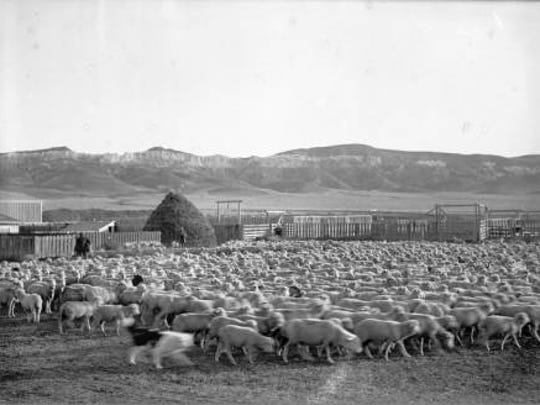 A large band of sheep is photographed at Square Butte Ranch in 1912.