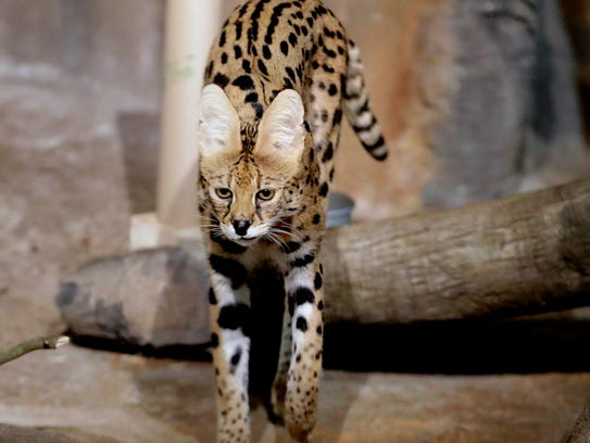 Amos, a 9-year-old male serval, checks out his surroundings