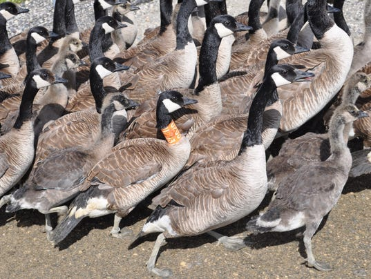 636640688091638650-Molt-migration-banding-James-Bay-Taylor-Finger-photo-MVP-goose-with-neck-band-with-Giant-behind-it.jpg