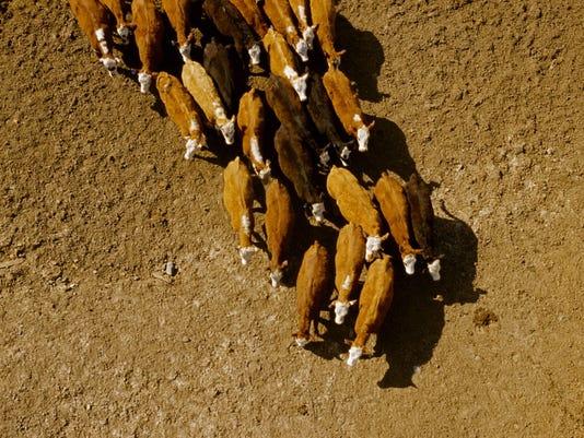 Feedlot-Cattle.jpg