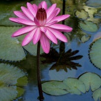 McKee Botanical Garden names winners of waterlily photo contest