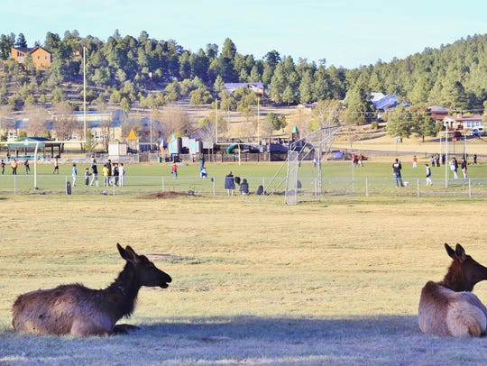 Two elk sit observe the action at White Mountain Sports