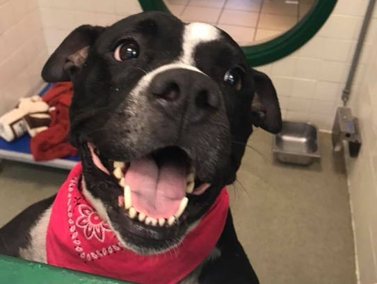 Penny is a happy-go-lucky pit bull mix available for